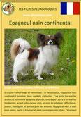 fiche chien race epagneul nain papillon phalene origine caractere comportement poil sante couleur