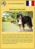 fiche chien identite race bouvier bernois origine comportement caractere poil sante