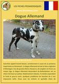 fiche chien identite race dogue allemand origine comportement caractere poil sante