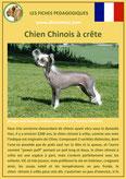 fiche chien race chien chinois a crete origine caractere comportement poil sante couleur
