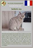 fiche chat race selkirk rex comportement origine caractere poil sante