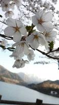 Kazuki Abeさん:桜どあっぷ!