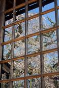 八重垣写真館さん:山武市埴谷 『長光寺のしだれ桜』