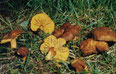 Phylloporus rhodoxanthus