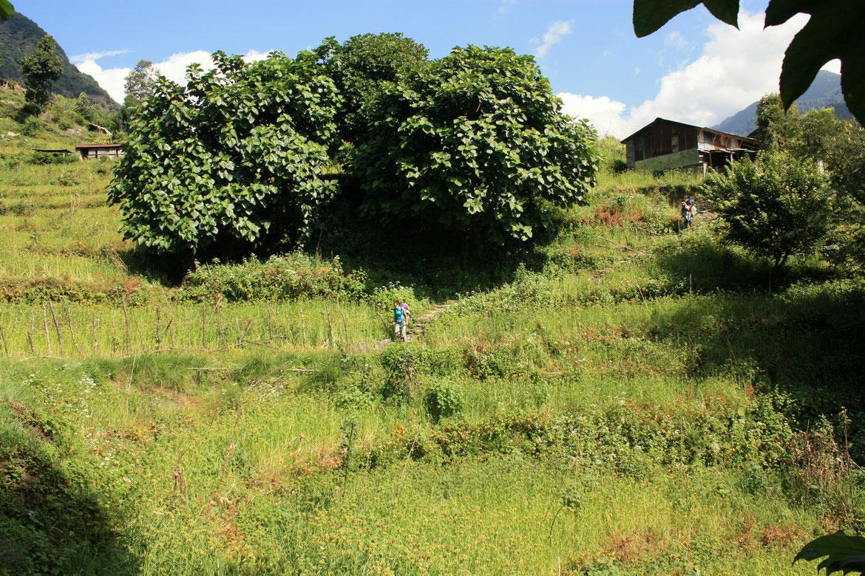 Dernière ligne droite de ce trek de 18 jours autour des Annapurnas, traversée des cultures autour du village de Kyumi