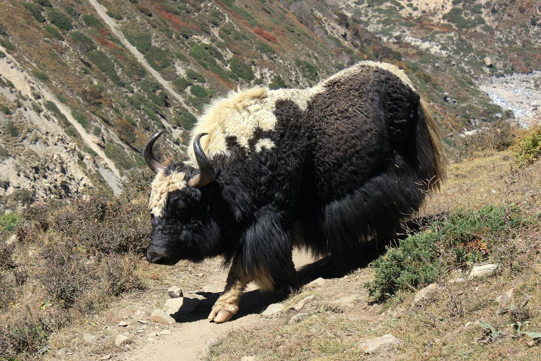 Les yaks sont bien là