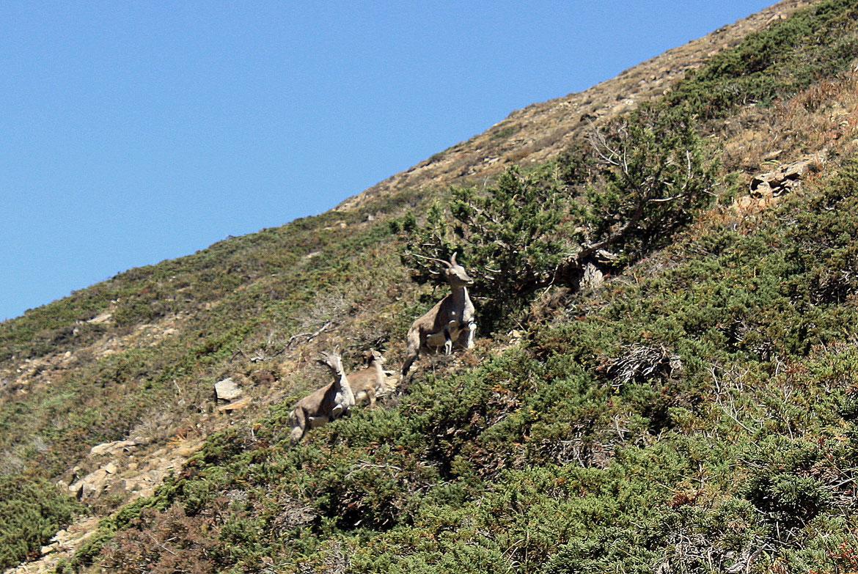 Une famille de chamois himalayen