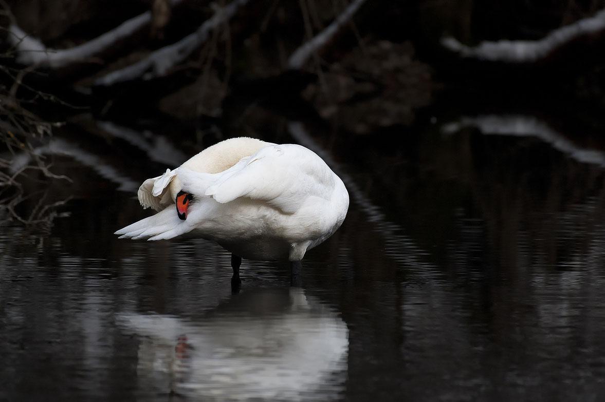Ein Höckerschwan in den Traun - Donau Auen