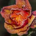 Rosenblüte mit Rauhreif. Makroaufnahme. Siegfried Beiser Photography
