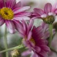 Margeritenblüten. Rosa Blütenblätter mit gelber Füllung. Makroaufnahme. Siegfried Beiser Photography