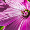 Blütenstempel. Makroaufnahme. Siegfried Beiser Photography