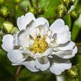 Weiße Heckenrosen Blüte. Makroaufnahme. Siegfried Beiser Photography