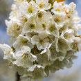Obstbaumblüten. Makroaufnahme. Siegfried Beiser Photography