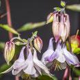 Blüten und Knospen einer Akelei. Makroaufnahme. Siegfried Beiser Photography