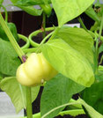 Mustafa:Gelbe,flachrunde Früchte. Foto: Bio Gärtnerei Kirnstötter