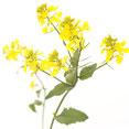 Bach Blüten Nr. 21 Mustard Wilder Senf