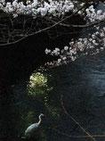 しましまじろーさん:神奈川県横浜市・大岡川沿い