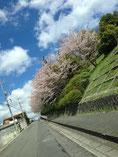 らいふさん: 団地の桜