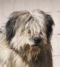 Issis - Heimatlose-Hunde e.V.