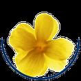 Gelsemium sempervirens Gelber Jasmin