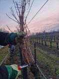 Weingarten Reben schneiden Winter Weinland Thermenregion Handarbeit