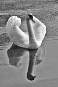Schwan See Spiegelung Reflektion Wasser Schwarzweiß