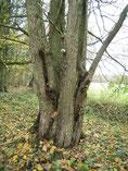 """Über 100jährige Flatterulme am Rand des NABU-Waldes """"Hölle"""". Dieser Baum lieferte das Saatgut für unser Ulmenprojekt. Foto: D. Jansen."""