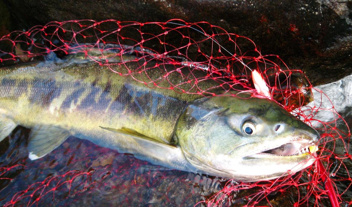 延べ竿で釣り上げられたサケ