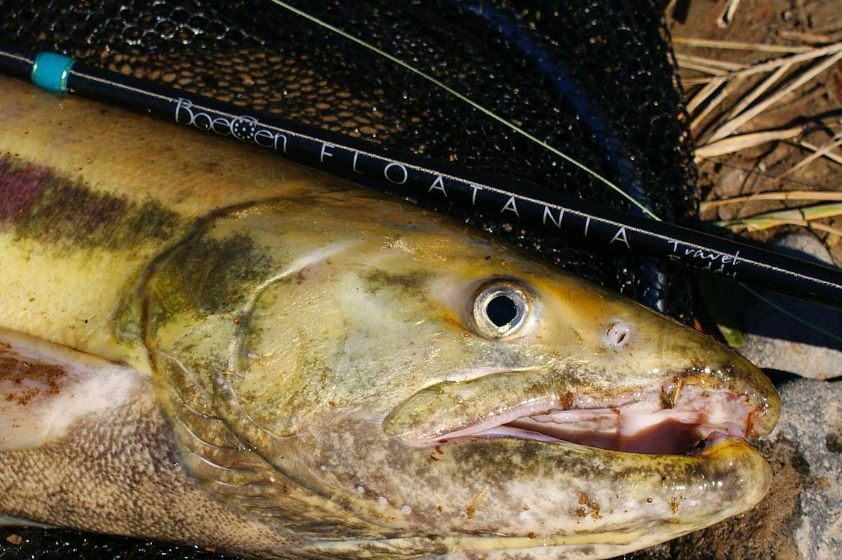 5ピースフロートロッド旧プロトタイプでの鮭釣り
