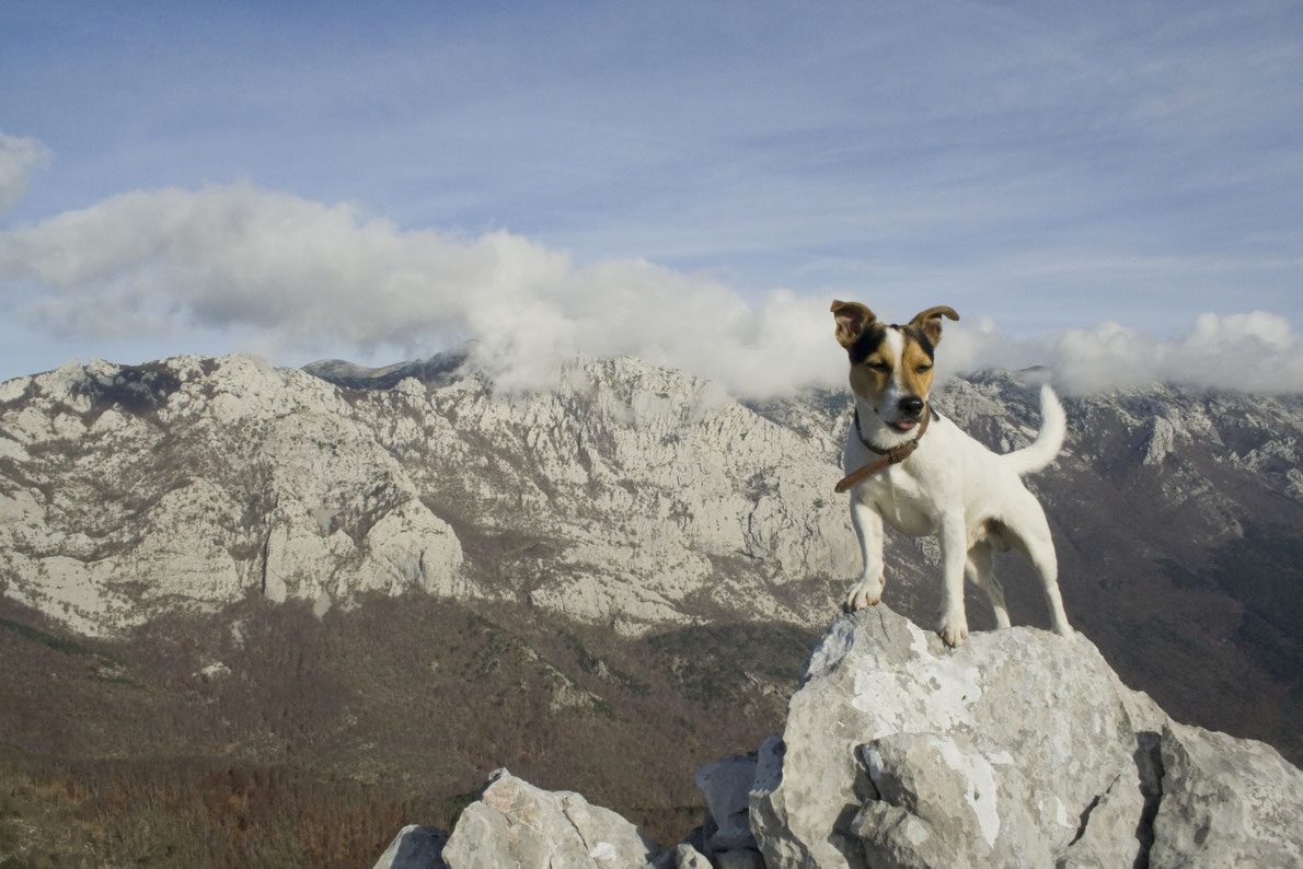 Jack russel terrier posing on the top of the rock in the Paklenica National Park Copyright Mina