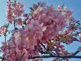 小松が池の河津桜