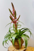 filles de l'air creation tillandsia samantha
