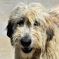 Rodolfa - Vergessene Tierheimhunde e.V.