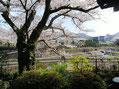 桜の大木が2本