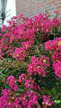Nahaufnahme einer in voller Blüte stehenden Kreppmyrte / Kräuselmyrte von K.D. Michaelis
