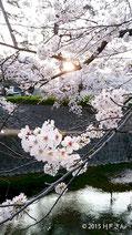 夙川桜と子どもたち