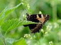 Kleiner Fuchs, Aglais urticae, Natura 2000, Hergenrath, Kelmis, Göhl, Geul, Gueule,Völkersberg, Belgien