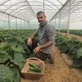 Tuteurage des tomates à la ferme des saveurs de Gâtine