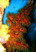 Tubastraea micranthus