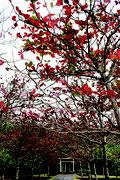 きょう20日は大寒。紅葉したモモタマナが真冬の表情を見せている=19日、バンナ公園南入り口