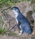 Victor Harbour, Pinguine auf Granite Island, Granite Island, South Australia, Südaustralien