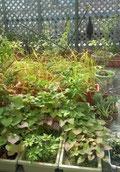 屋上・ベランダ菜園
