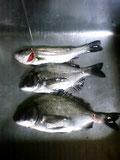 黒鯛とセイゴ