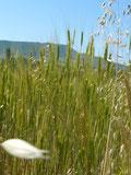 L'association du petit epeautre de haute provence