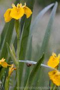 Iris des marais, Réservoir de champaubert, Lac Du Der