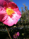 Camellia in full bloom.