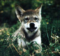 Neun Wochen alter Wolfswelpe