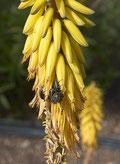 Au printemps l'Aloe vera porte de magnifiques fleurs jaunes en grappes qui donnent une excellente tisane.  Aloe Vera Santé