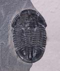 Bild eines Trilobiten