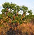 L'arbre à Maté